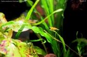 Креветка-вишня (Neocaridina heteropoda Yellow)