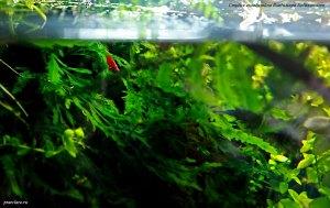 Креветка-вишня.(Neocaridina heteropoda Red., Var. Red fire)