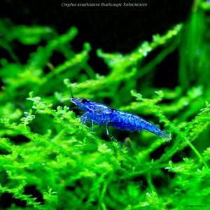 Креветка-вишня.(Neocaridina heteropoda Blue)