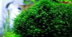 Креветка-вишня.(Neocaridina heteropoda Red., Var. Red fire) & Креветка Амано (Caridina japonica)