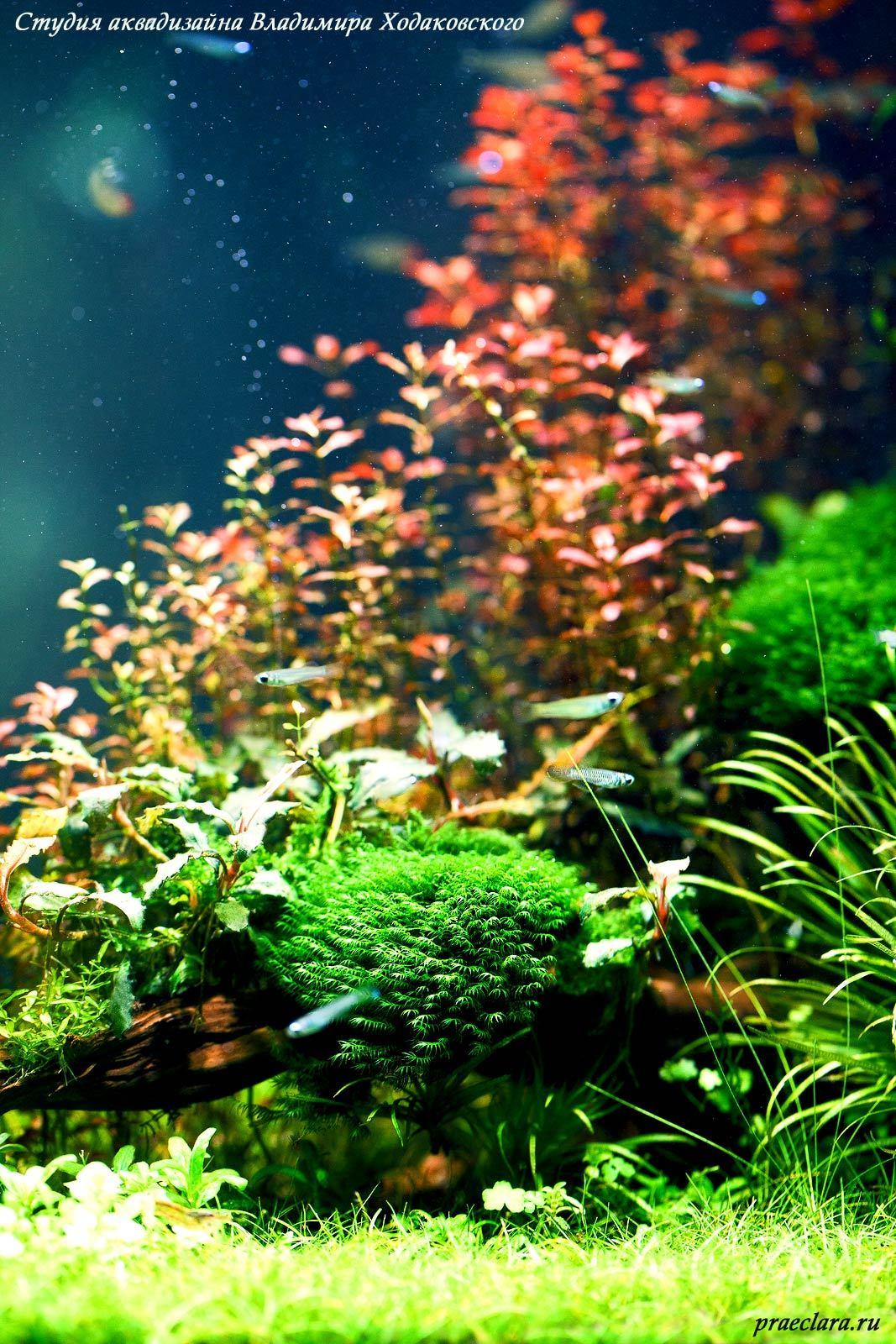 Fissidens fontanus – Phoenix moss