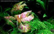 Нимфея Микранта (Nymphaea micrantha) и Vesicularia montagnei – Christmas moss