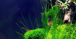 Кладофора шаровидная (Aegagropila sauteri), Fissidens fontanus – Phoenix moss, Элеохарис живородящий (Eleocharis vivipara)