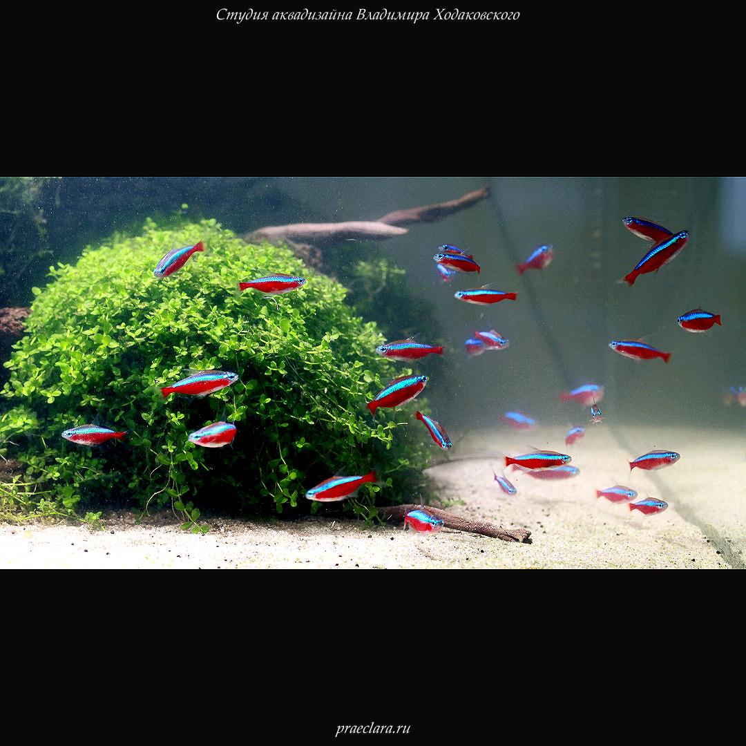Красный неон (Paracheirodon axelrodi)