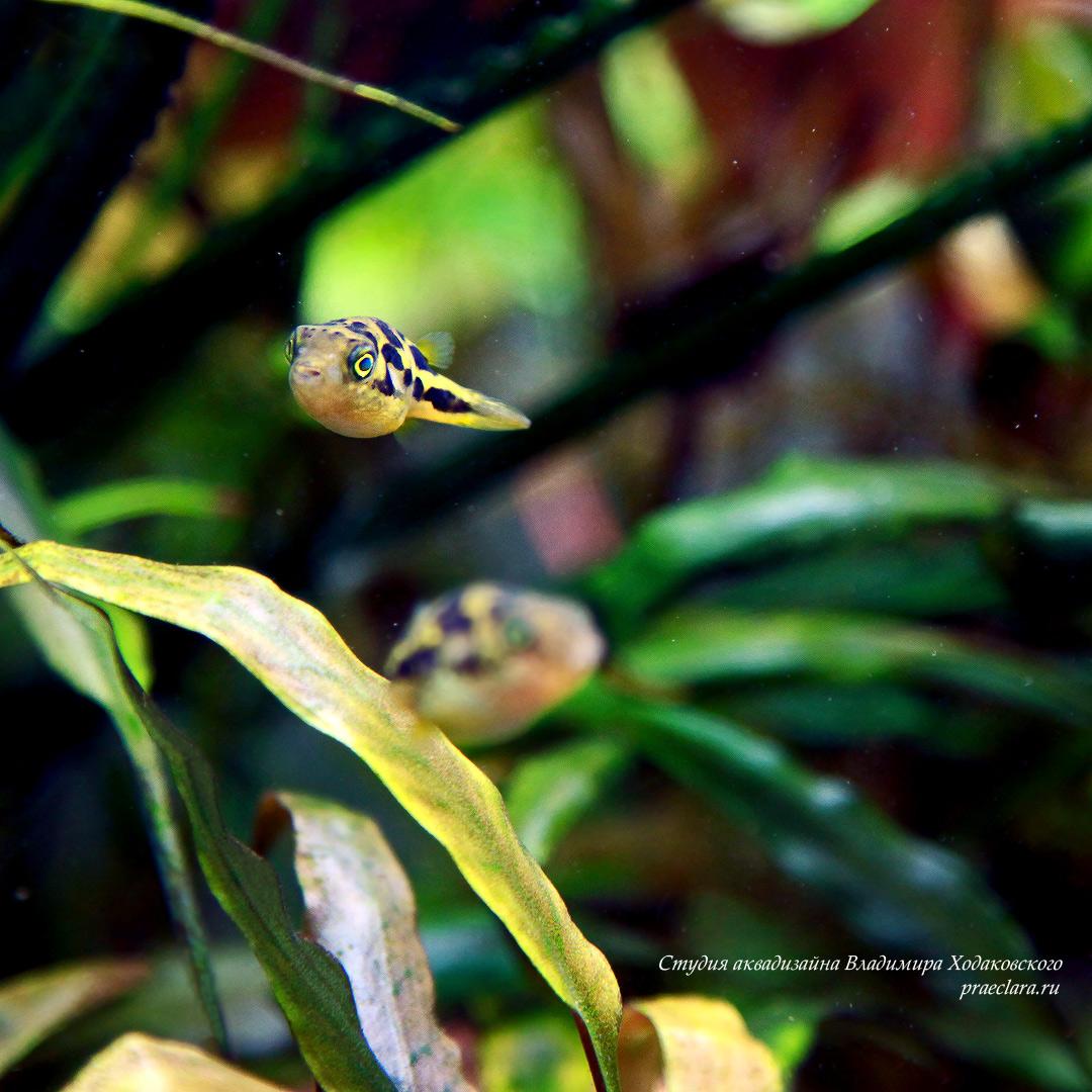 Карликовый тетраодон (Tetraodon travancoricus)