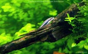Отоцинклюс (Otocinclus affinis)
