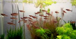 Расбора макулата (Rasbora maculata)