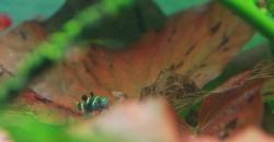 Brachygobius xanthozona