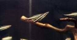 Пецилобрикон обыкновенный (Nannostomus eques, Poecilobrycon eques)