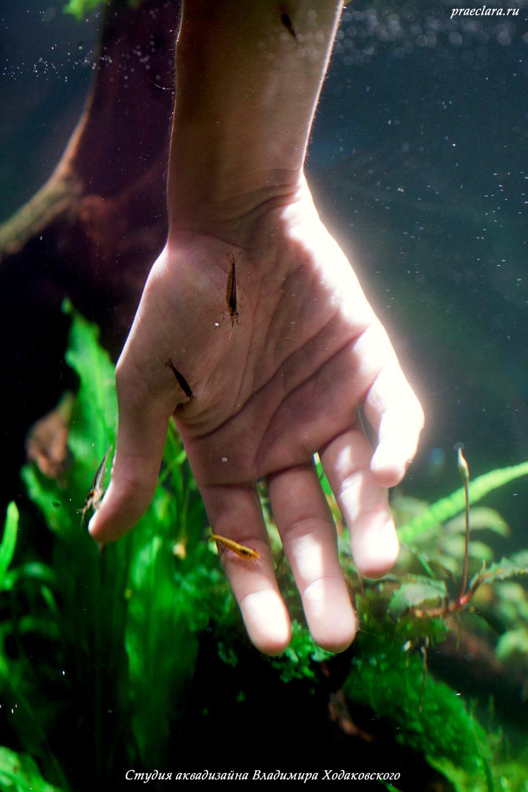 Креветка Амано (Caridina japonica), Креветка-вишня (Neocaridina heteropoda Yellow)