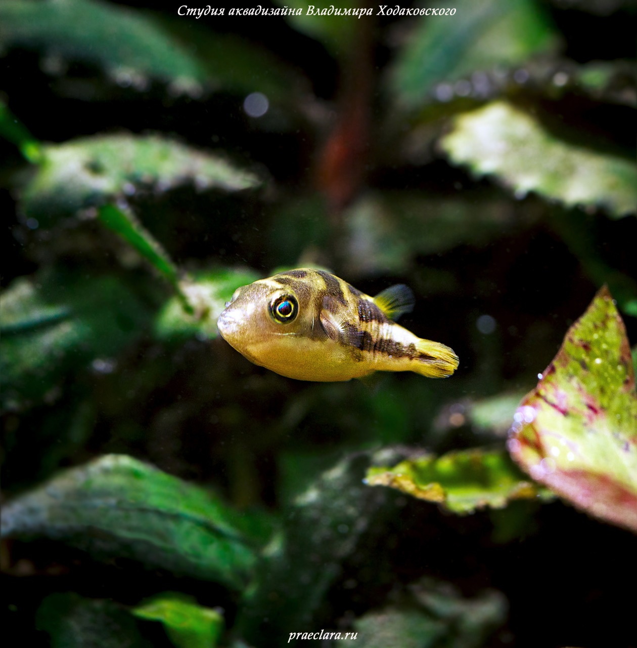 Тетраодон карликовый (Tetraodon travancoricus)