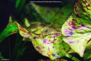 Креветка Амано (Caridina japonica)