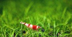Креветка красный кристалл (Crystal Red Shrimp)