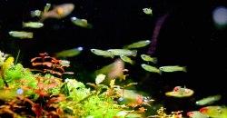 Голубоглазка Нормана (Aplocheilichthys normani)
