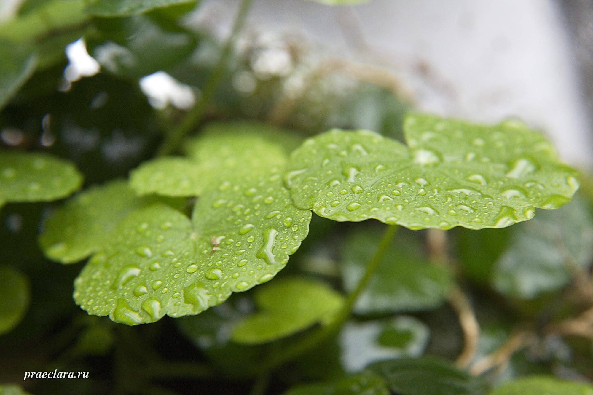 Щитолистник белоголовый (Hydrocotyle leucocephala) на вабикусе