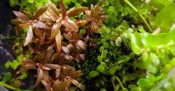 Букеты цветов Альтернантеры сп.нано (Alternanthera sp.«nano») очень маленькие и сидят прямо на стебле