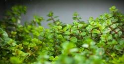 Ротала макрандра зелёная узколистная (Rotala macrandra  «Narrow Leaf») При выходе на сушу растение сильно изменяется.