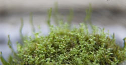 Хемиантус куба(Hemianthus callitrichoides) и Мох флейм(Taxiphyllum sp. - Flame Moss) на вабикусе