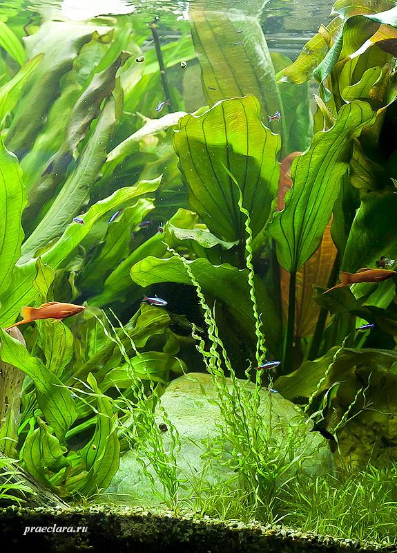 Эхинодорус Везувий, на переднем плане, фрагмент аквариума
