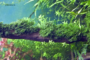 Riccardia graeffei на коряге, крепление нитью для мха