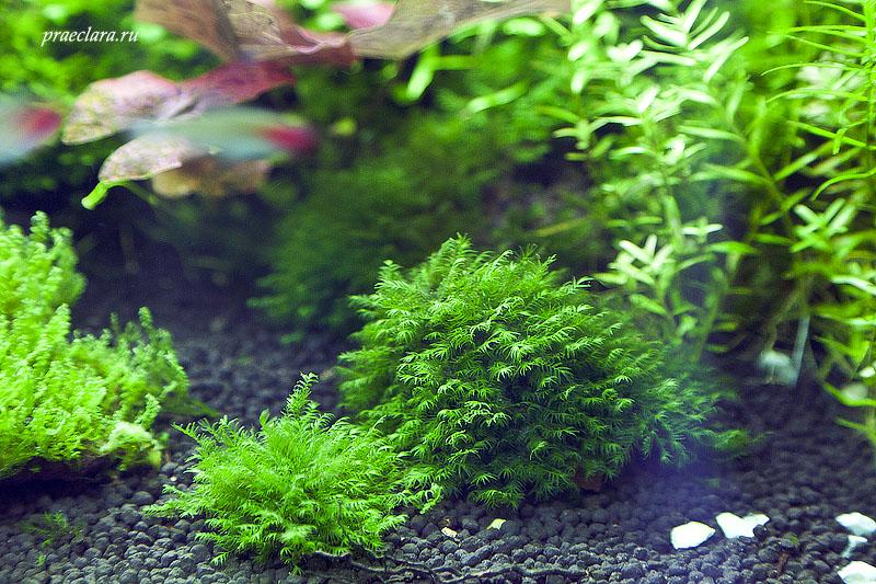 Fissidens fontanus - Phoenix moss, слева-крепление клеем, справа-крепление нитью для мха