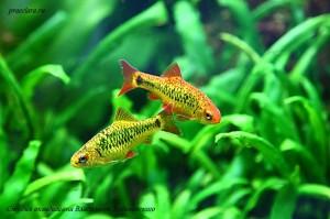 """Барбус Шуберта (Barbus semifasciolatus """"schuberti"""") Рыба имеющая в рационе растительный корм поселяется в травник на страх и риск"""