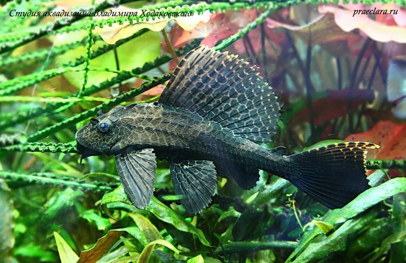 июле-августе потрясающие фотографии аквариумных рыб все усилия