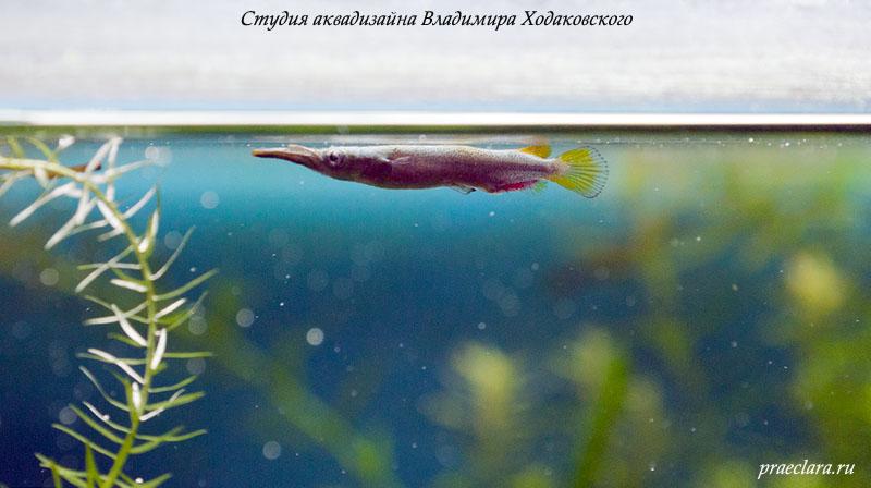 Бойцовый полурыл (Dermogenys pusillus) -живородящая рыбка. В помёте обычно около 20 мальков.