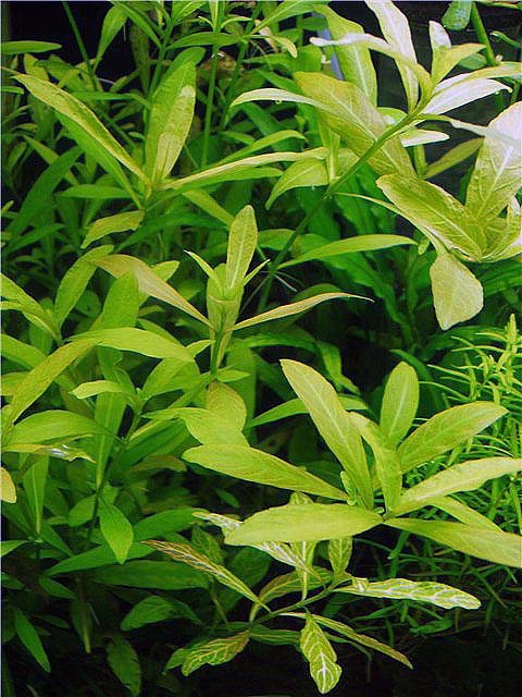 Гигрофила полисперма (Higrophila polisperma)