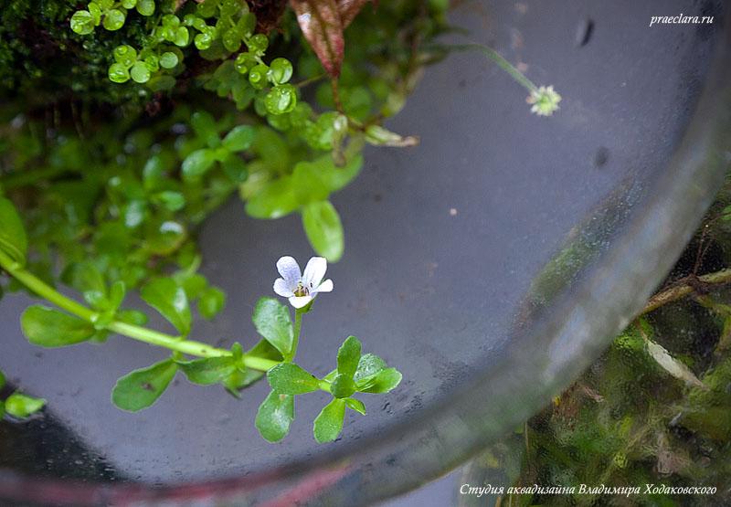 Бакопа Монье (Bacopa monnieri) цветёт