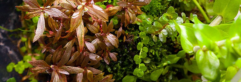 """""""Букеты"""" цветов Альтернантеры сп.нано (Alternanthera sp.«nano») очень маленькие и сидят прямо на стебле"""