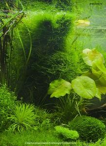 Taxiphyllum alternans — Taiwan-moss в центре на вертикальных корягах, фрагмент аквариума