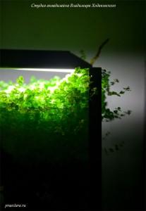 Micranthemum umbrosum вышел из аквариума на сушу.