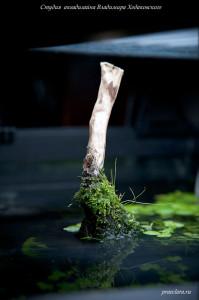 Элеохарис во мхе на коряге