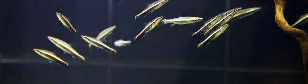 Пецилобрикон обыкновенный (Nannostomus eques, Poecilobrycon eques), нано-рыбки