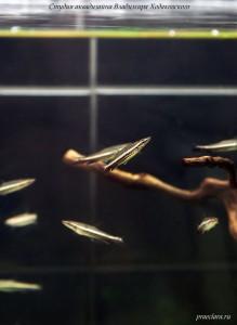 Пецилобрикон обыкновенный (Nannostomus eques, Poecilobrycon eques), рыба для травника, рыба для акваскейна, оформление аквариума