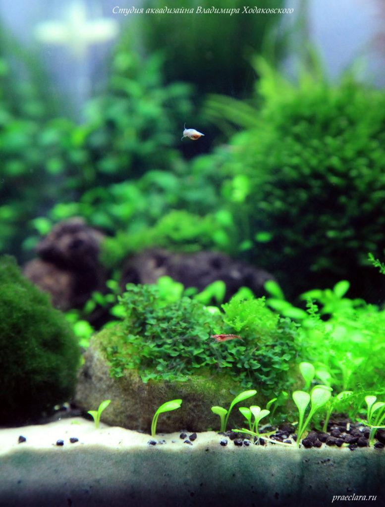 Фрагмент акваскейпа, пелии, марханция