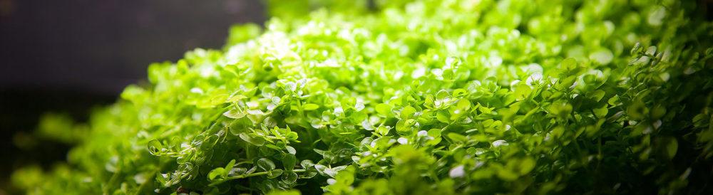 Микрантемум тенистый (Micranthemum umbrosum), эмерсная форма