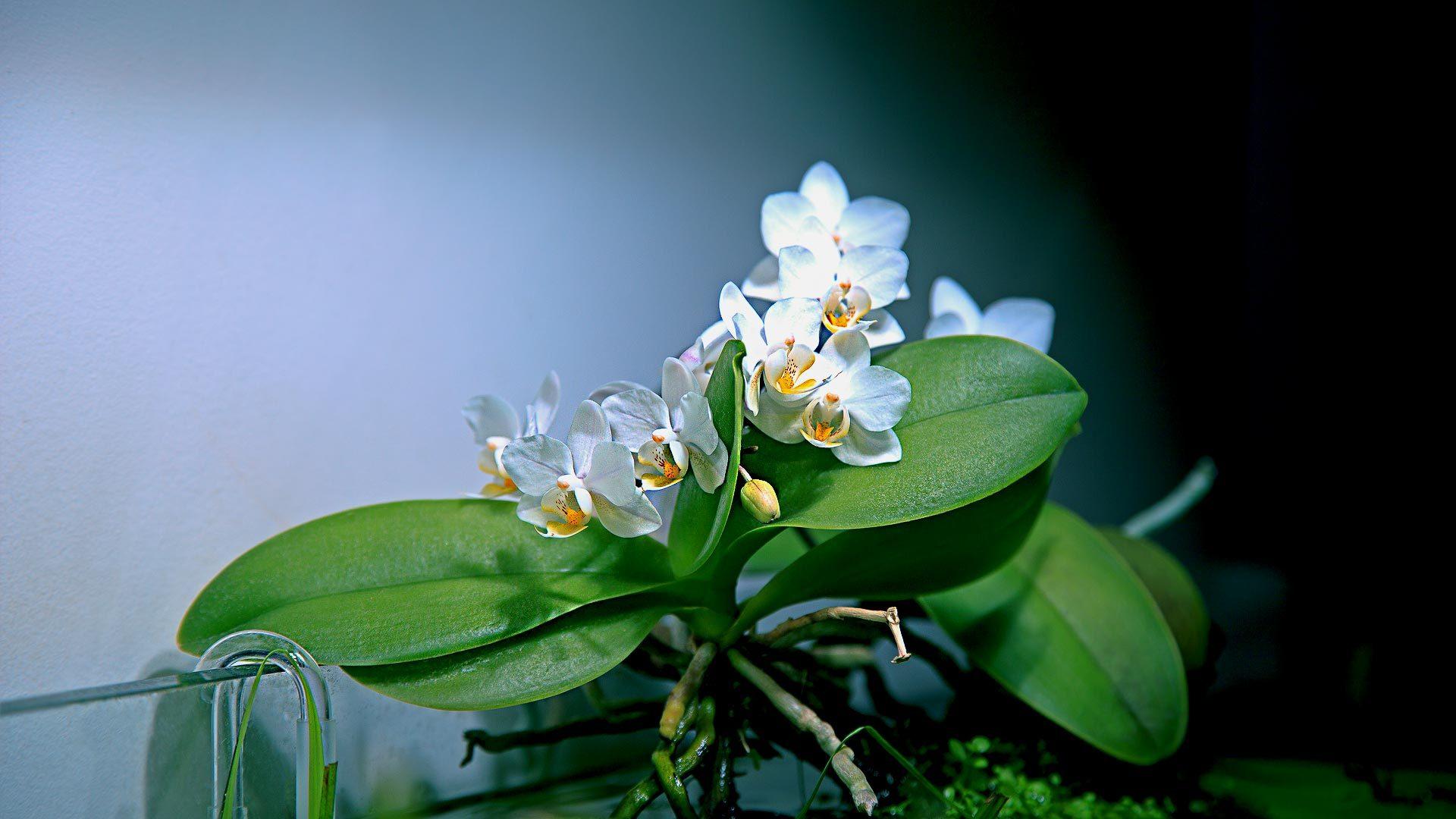 Орхидеи в аквариуме