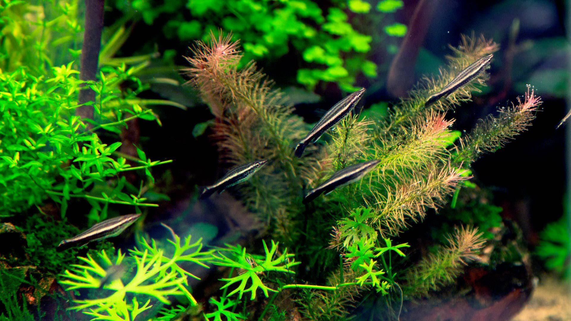 Пецилобрикон – рыбка акваскейпера
