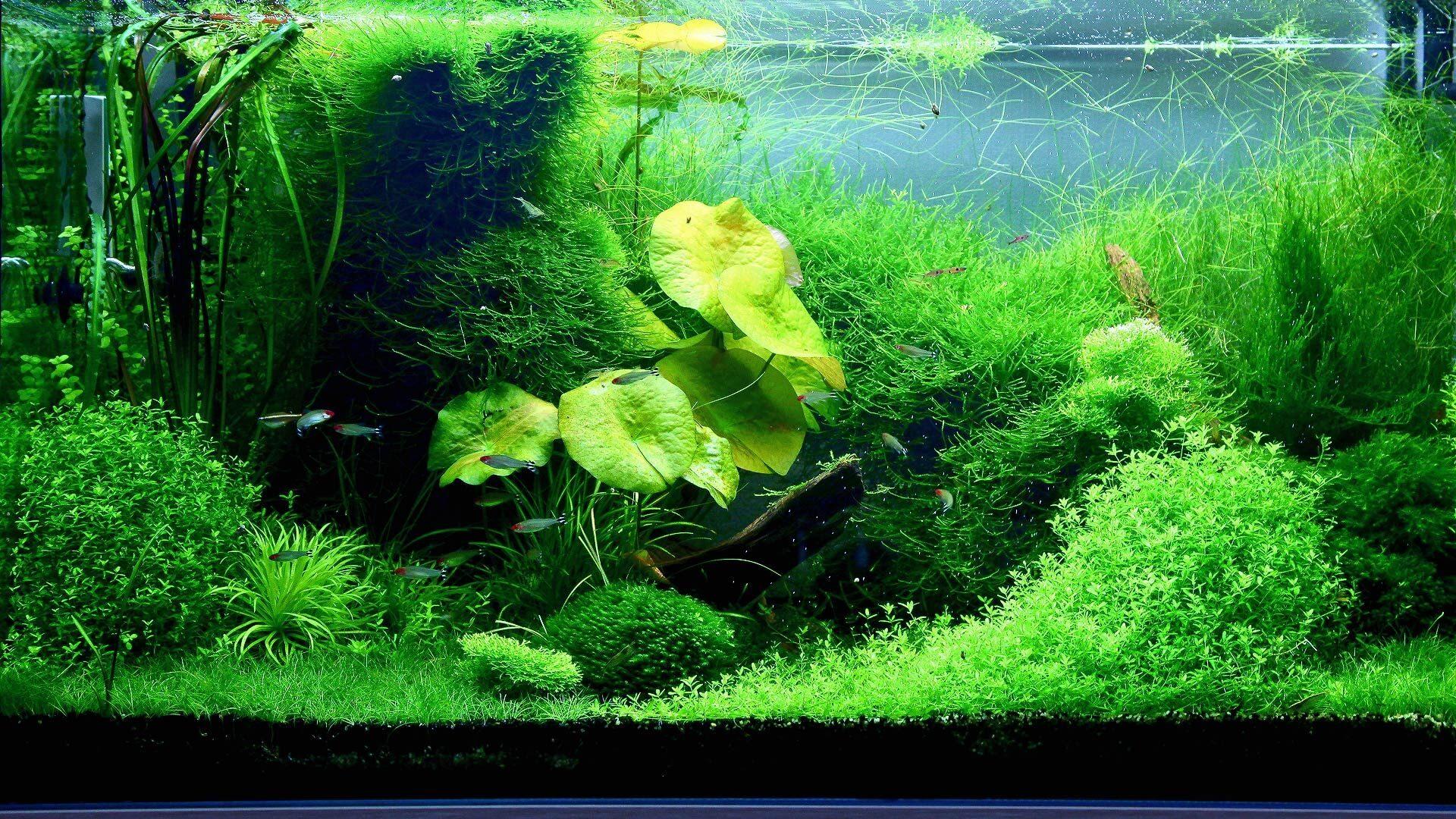 Аквариум с растениями в стиле Nature Aquarium