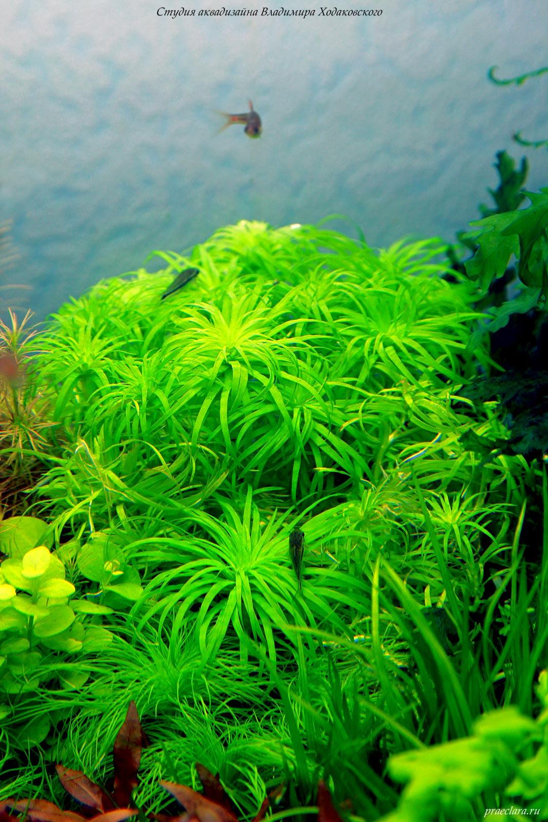 Аквариумные растения – краски аквадизайнера