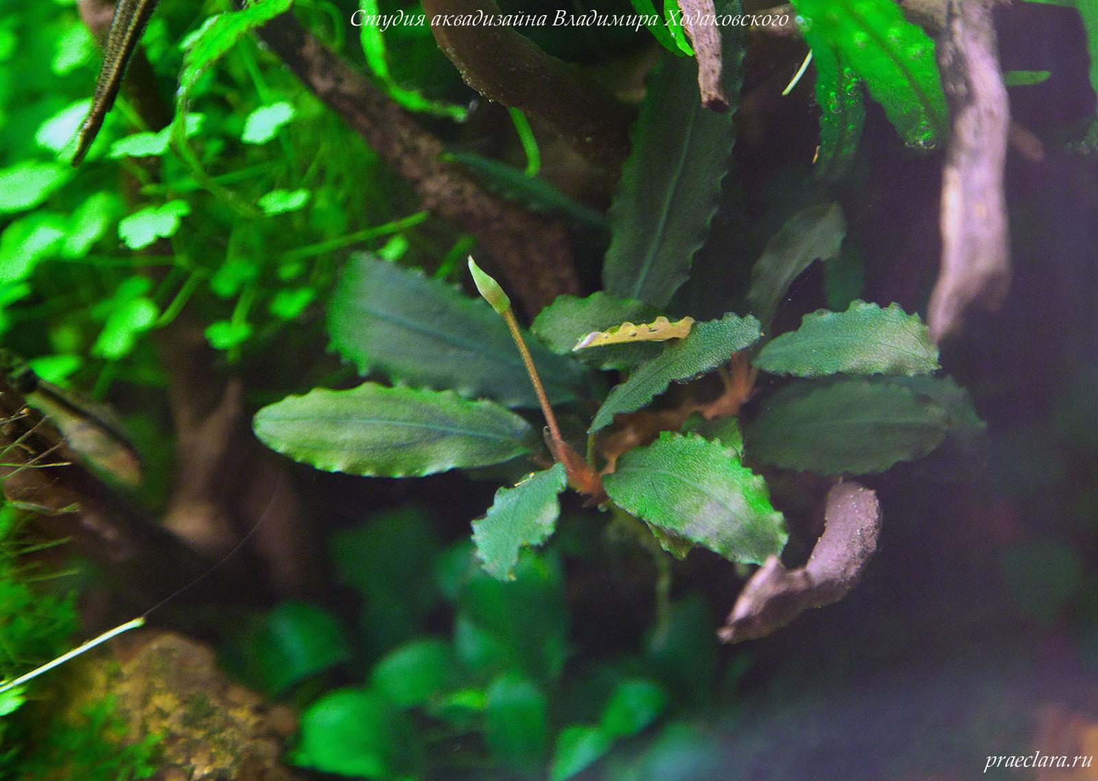 Буцефаландра (Bucephalandra sp. Brownie Ghost)