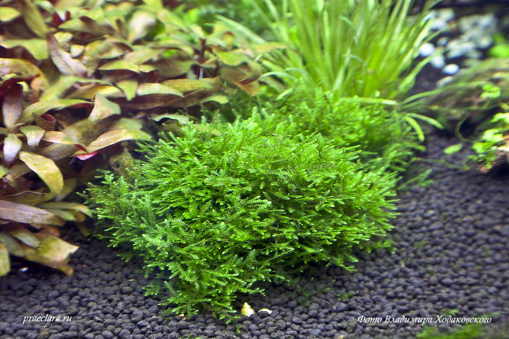 Taxiphyllum alternans — Taiwan-moss