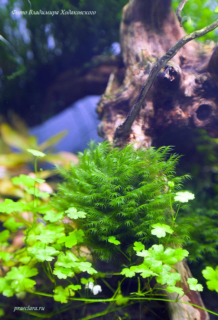 Fissidens fontanus - Phoenix moss