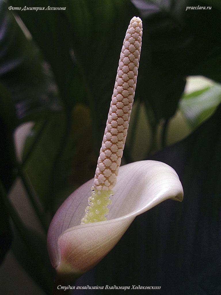 Анубиас гибридный