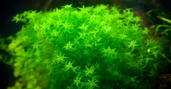 Микрантемум малоцветковый (Micranthemum micranthemoides)
