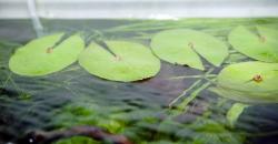 Нимфея микранта (Nymphaea micrantha), надводные листья