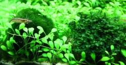 Кладофора (Сladofora) культивируемая в пресноводном аквариуме водоросль