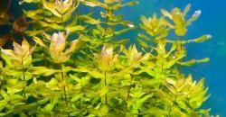 Ротала макрандра зелёная узколистная (Rotala macrandra «Narrow Leaf»)